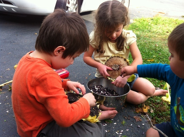 harvesting our sunflower seeds