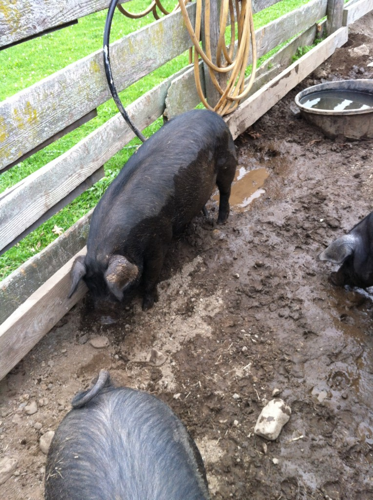 pigs at Gore Place