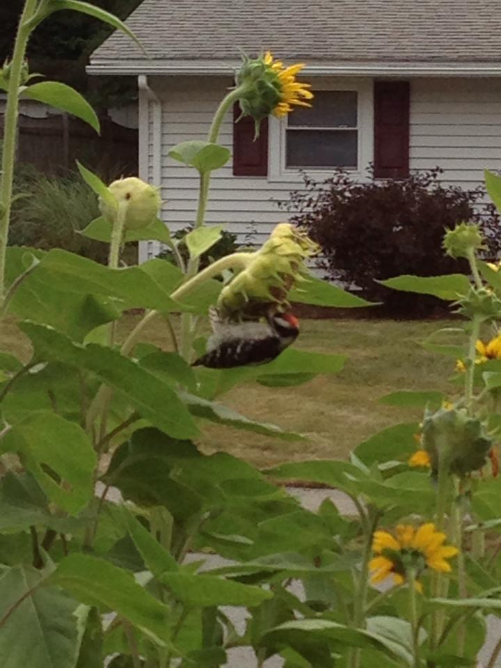 downy woodpecker on our sunflower
