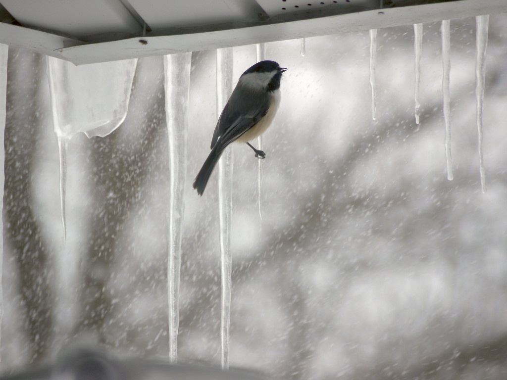 Chickadee perching on the icicle.
