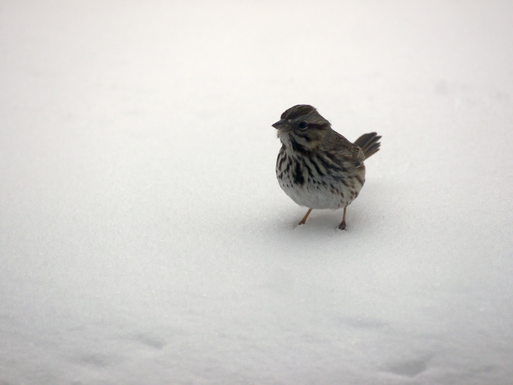Song sparrow on the snow.