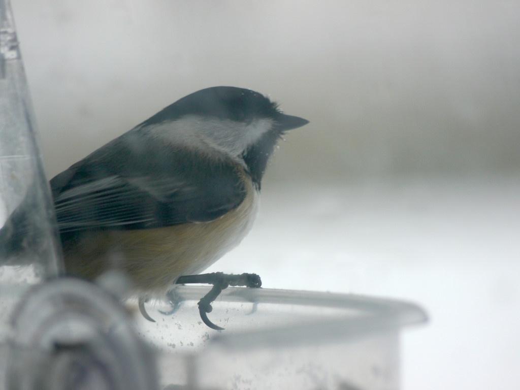 Chickadee on the feeder.