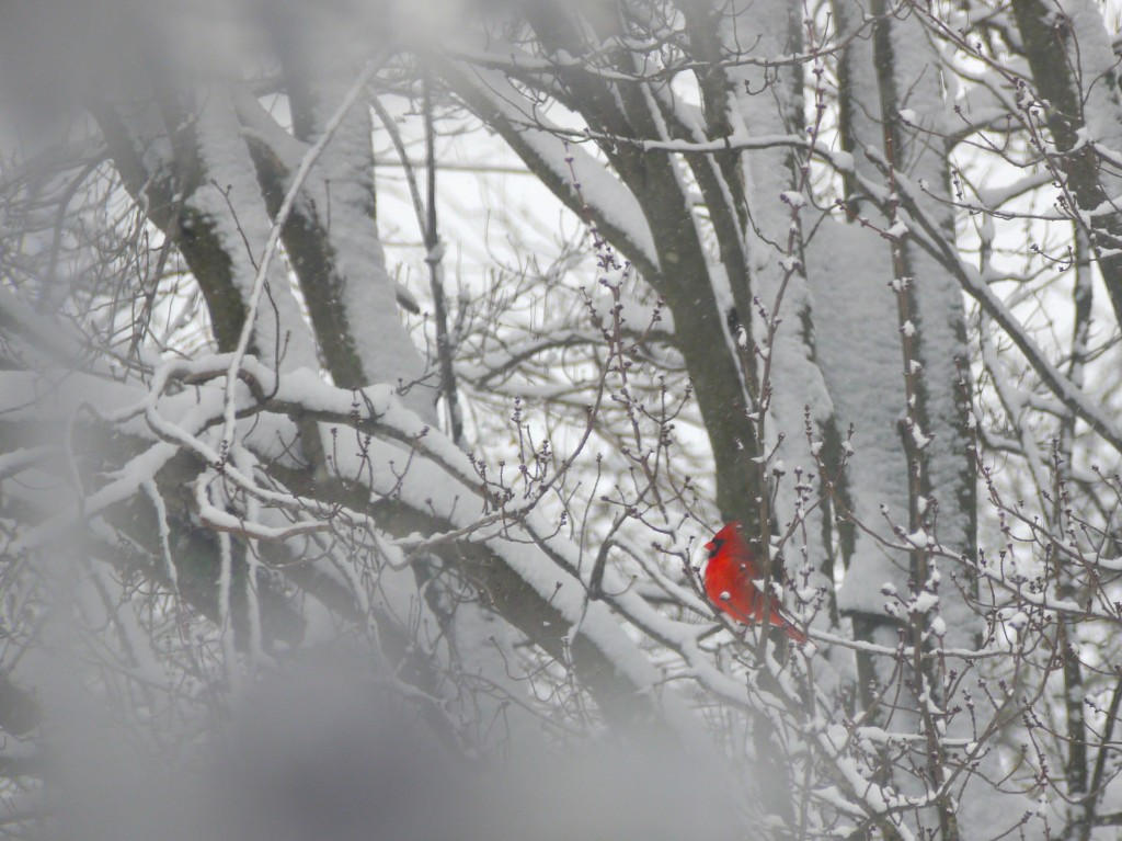 cardinal in the tree