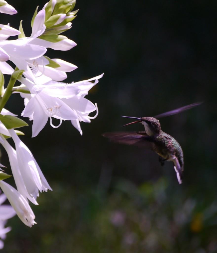 Hummingbird nectaring at the hosta.