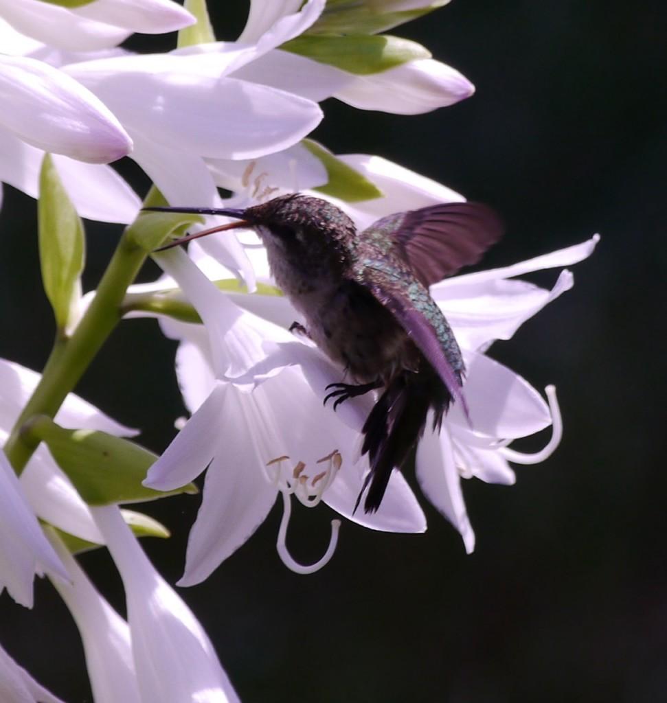 Hummingbird on the hosta.