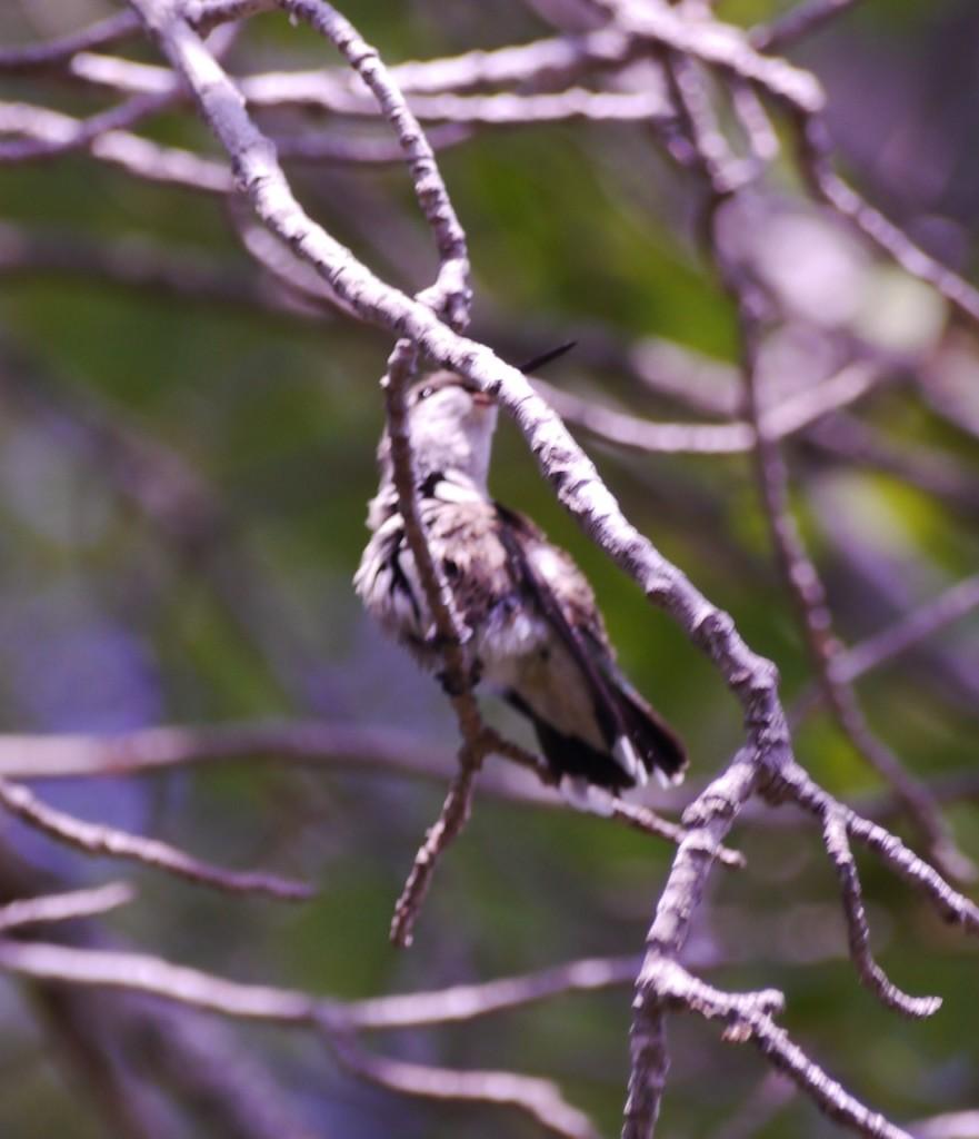 Hummingbird perching on the maple tree.