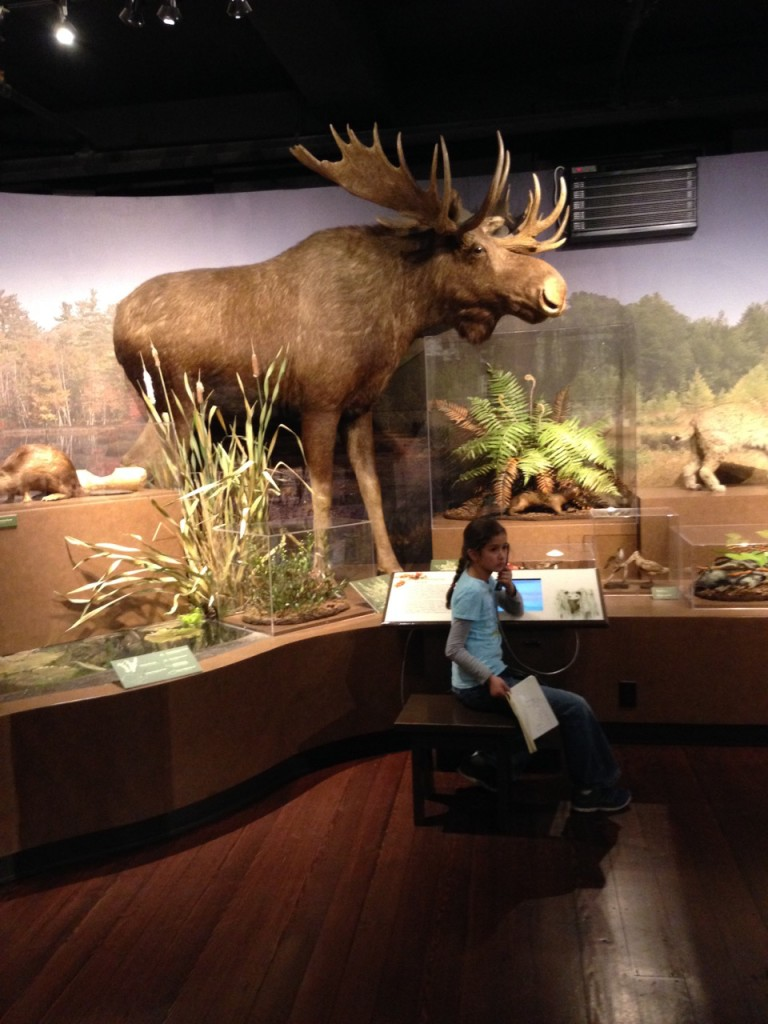 New England exhibit: Bella listens to a presentation while a moose looms overhead.