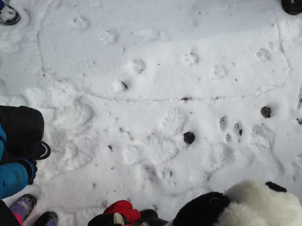 Canine tracks.