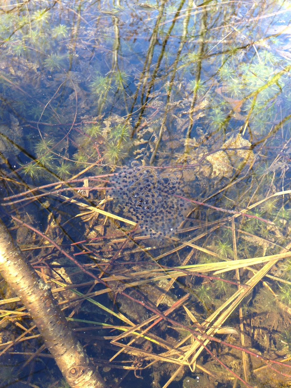 Frog spawn at Moose Hill.