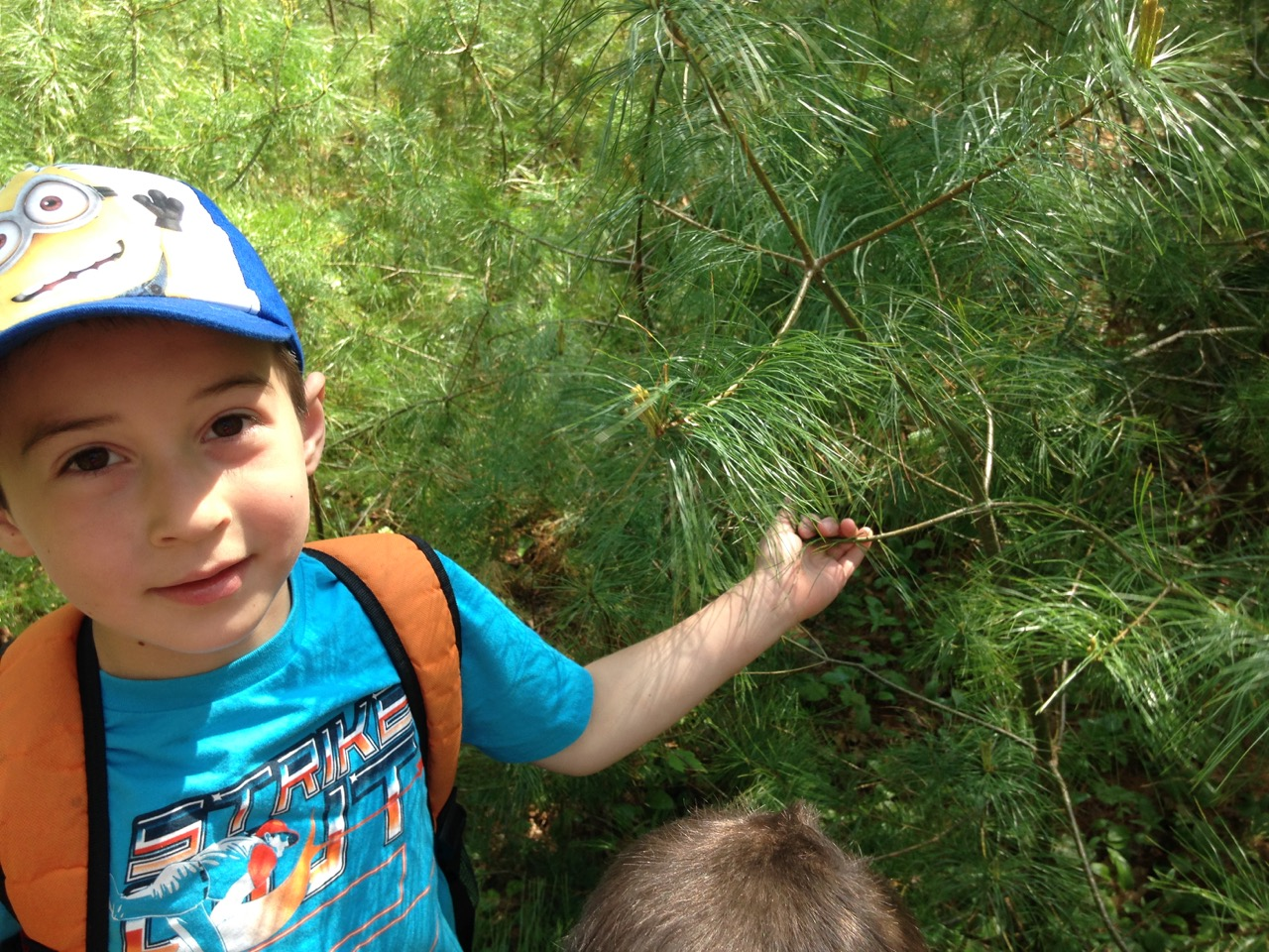Ben identifies a white pine: five needles in a cluster.