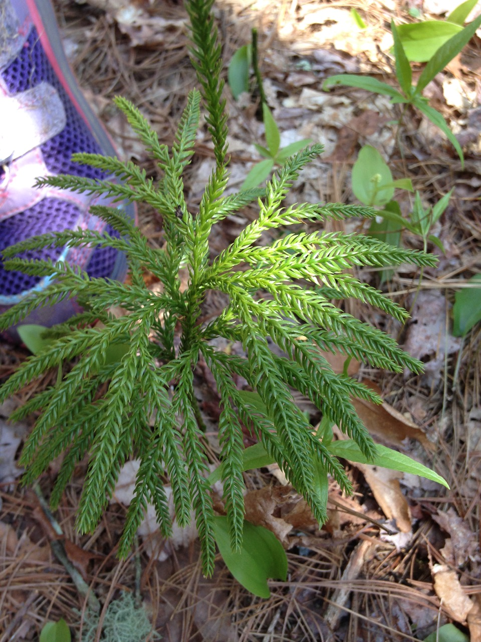Princess pine, which is actually a club moss. Who knew.