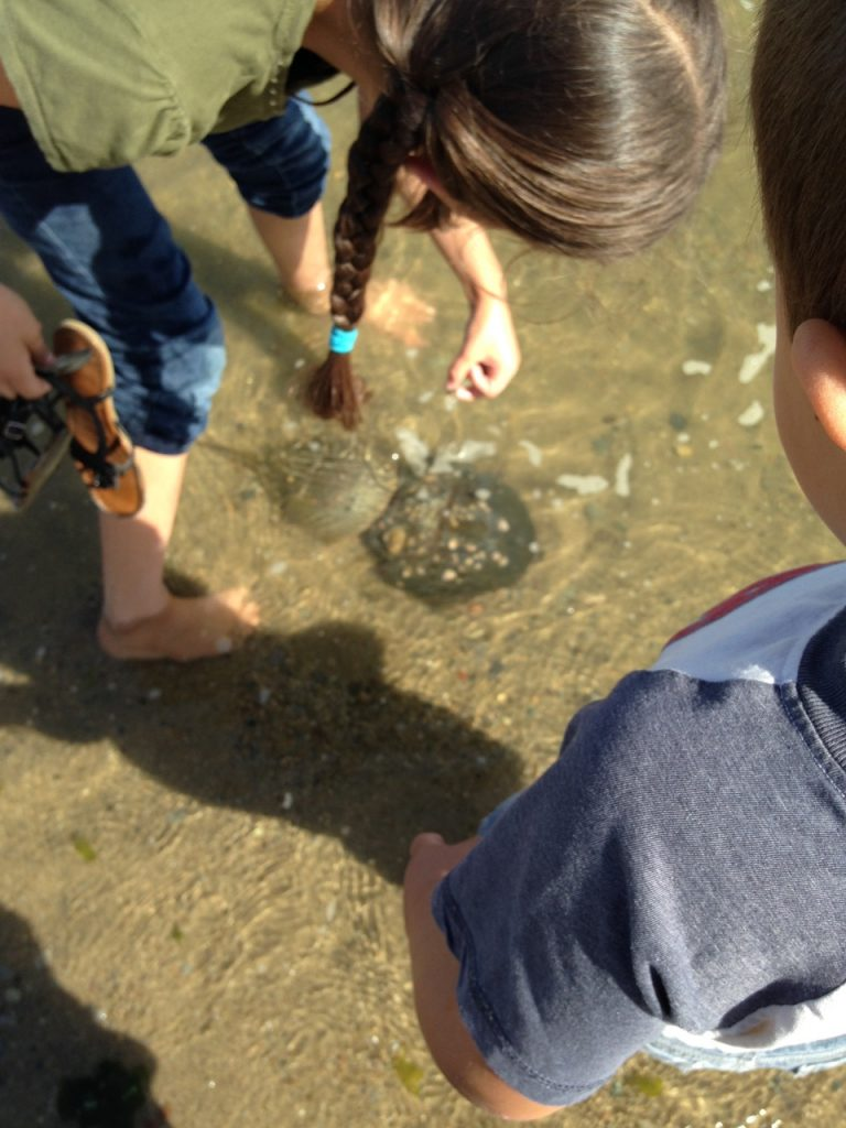 Kids investigate a pair of horseshoe crabs.