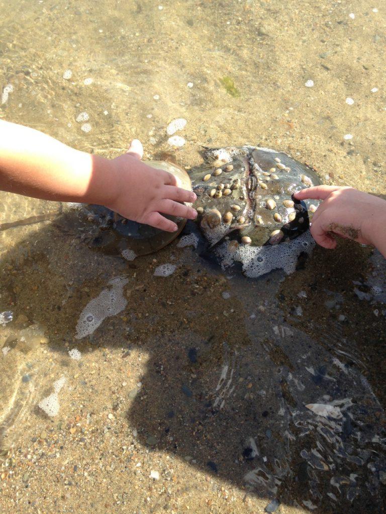 Touching horseshoe crabs.